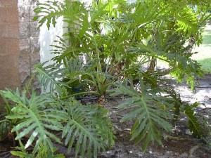 banana-de-macaco-manacá-medicina-felina-300x225