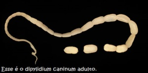 D. caninum ex dog.  Given by Peter Schantz
