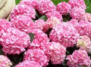 hortensia-medicina-felina-300x220