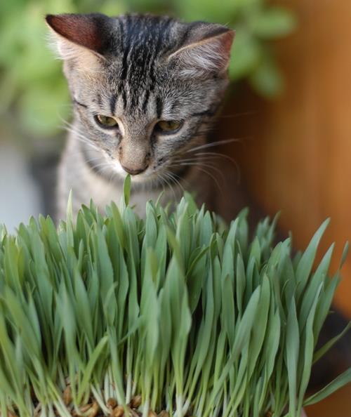 Grama-de-milho-de-pipoca-para-seu-gato
